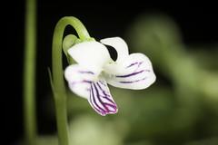 Viola verecunda fma. variegata A.Gray var. yakushimana (Nakai) Ohwi