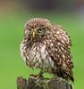 Little Owl (Athene noctua) 07.49.48-2