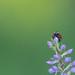 Ladybug on Orchid