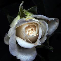 Llum de la rosa blanca