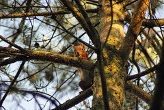 Photo of Red Squirrel saying hello