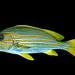 Ribbon sweetlips (Plectorhinchus polytaenia)