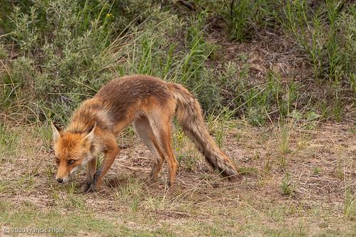 20200621 Waterleidingduinen, vos gespot.