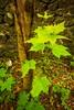 Sycamore Leaves, Raith Estate, Kirkcaldy