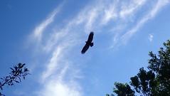 Turkey Vulture Silhouette