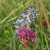 A good season for Marbled White Butterflies, Kenley Common