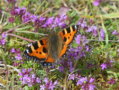 Photo of Small Tortoishelle Butterfly