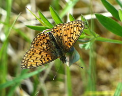 Photo of Small Pearl Bordered Fritillary