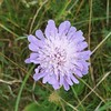 Scabious, Kenley Common