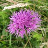 Greater Knapweed, Kenley Common
