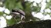 Sparrowhawk, 29062020, 03 f