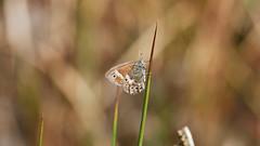 Photo of large heath, Coenonympha tullia