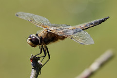 Photo of four-spotted chaser, Libellula quadrimaculata