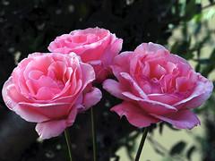 Tres roses d'un roser