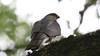 Sparrowhawk, 29062020, 01 f