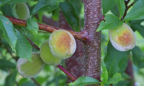 Arctic Peaches
