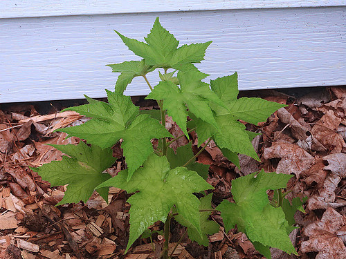Thimble Berry Leaves