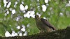 Sparrowhawk, 01072020, 05 f