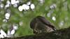 Sparrowhawk, 01072020, 04 f