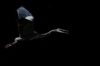 Grand Hron / Great blue heron