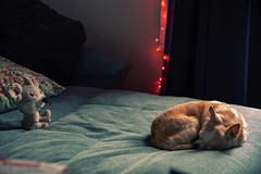 montreal quebec canada chihuahua dog quiet sleeping relax... (Photo: Ennev on Flickr)