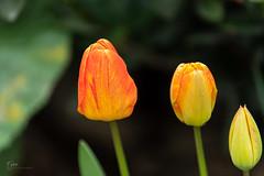 Tulipes au DFA 70-210/4