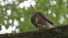 Sparrowhawk, 01072020, 02 f