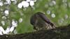 Sparrowhawk, 01072020, 03 f