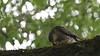 Sparrowhawk, 01072020, 01 f