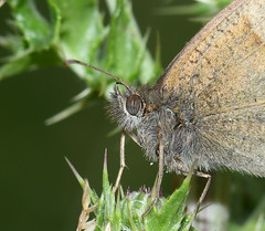 Photo of Meadow brown (Maniola jurtina)
