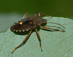 Photo of Forest bug (Pentatoma rufipes)