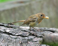 Photo of Young Robin