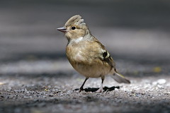 Photo of Female chaffinch