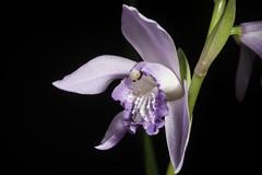 Bletilla striata 'Murasaki Shikibu - 紫式部' (Thunb.) Rchb.f., Bot. Zeitung (Berlin) 36: 75 (1878)