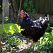 Black chicken at Quex Barn in Quex Park Birchington Kent England 1