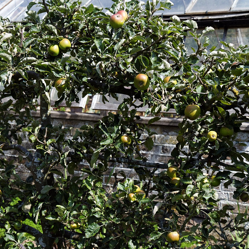 Apple espalier in Victorian garden Quex House Birchington Kent England