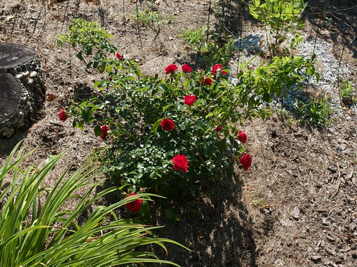 Rosa FLOWER CARPET Scarlet () Photo by F.D.Richards, 7/2020