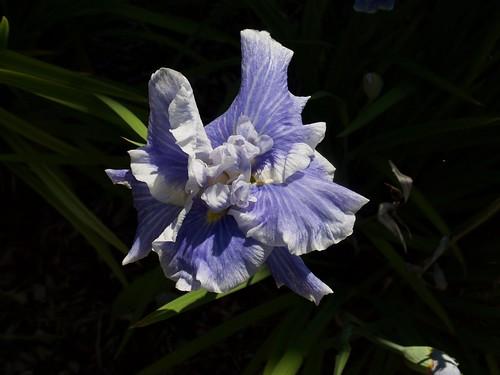 Iris ensata 'Lake Effect' (Bauer /Coble 2004) Photo by F.D.Richards, 7/2020