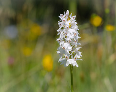 Photo of Common spotted-Orchid - Dactylorhiza fuchsii var. albiflora