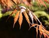 Acer orange