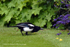 Photo of Magpie (Pica pica) - Hunting around a Lavender bush  -  (Published by GETTY IMAGES)