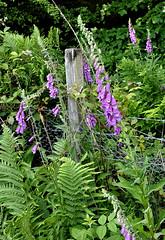 Photo of Foxglove Fence