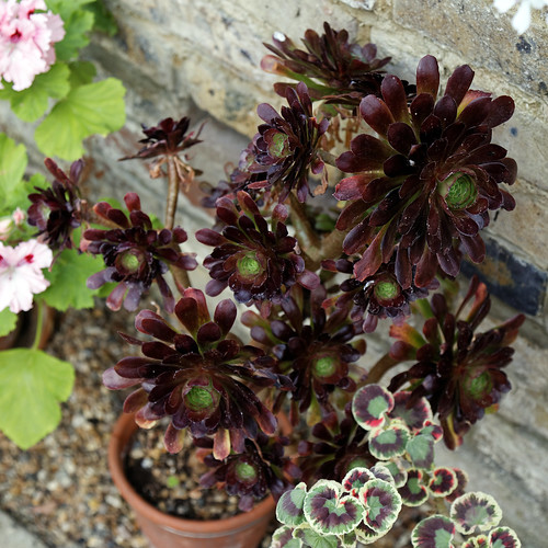 'Aeonium arboreum' at the Cactus House in Victorian Garden Quex House Birchington Kent England