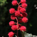 Red Seed Pods