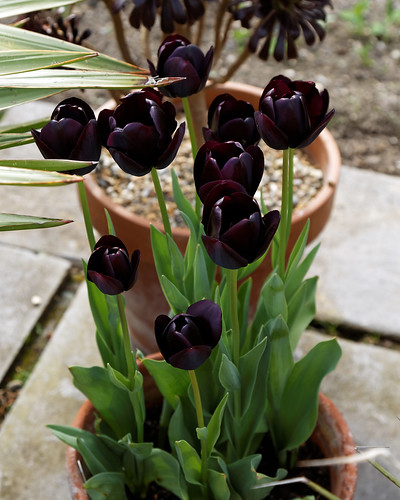 Black tulips at Quex House Birchington Kent England 2