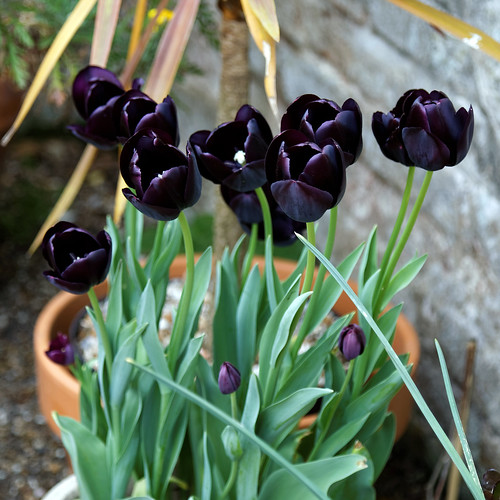 Black tulips at Quex House Birchington Kent England 1