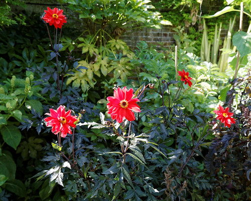 Bishop of Llandaff Dahlia Victorian garden Quex House Birchington Kent England