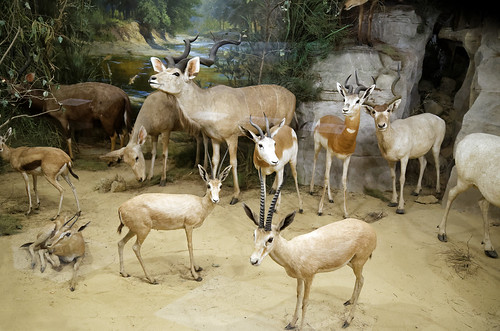 Antelope diorama taxidermy Powell-Cotton Museum, Birchington Kent England