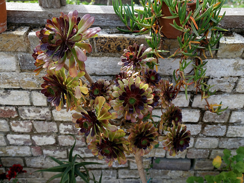 'Aeonium arboreum' at the Cactus House in Victorian Garden Quex House Birchington Kent England 2