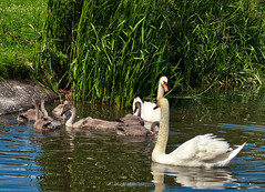 Photo of Swans in the Kay park